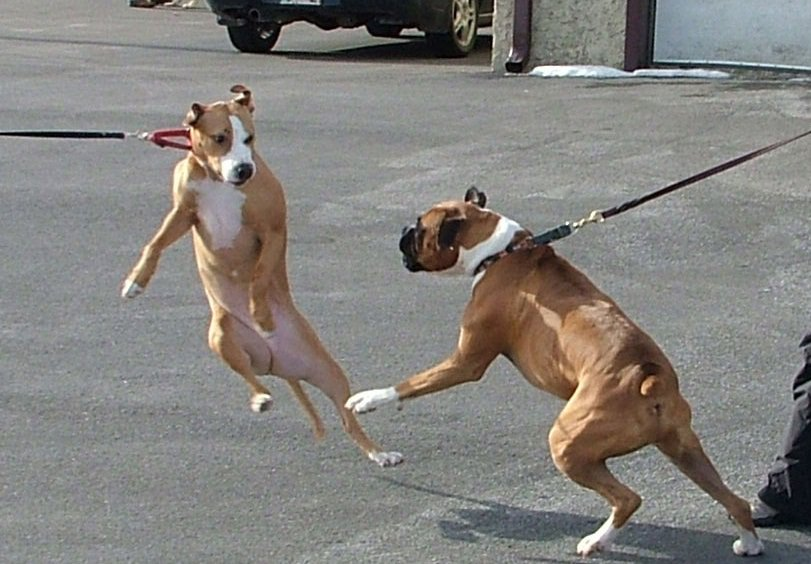 Dog Leash Reactivity Training