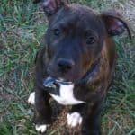 Pitt Bull Puppy Training