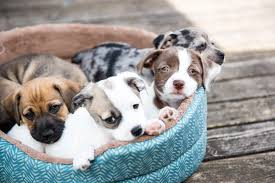 How to socialize your puppy - pawz for health dog training