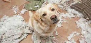 Dog behavior - Destructive chewing